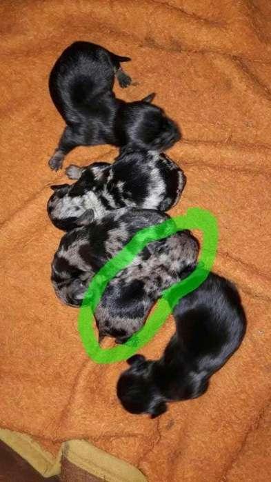 Salchichas miniatura varios colores vacunados y desparasitados machos y hembras