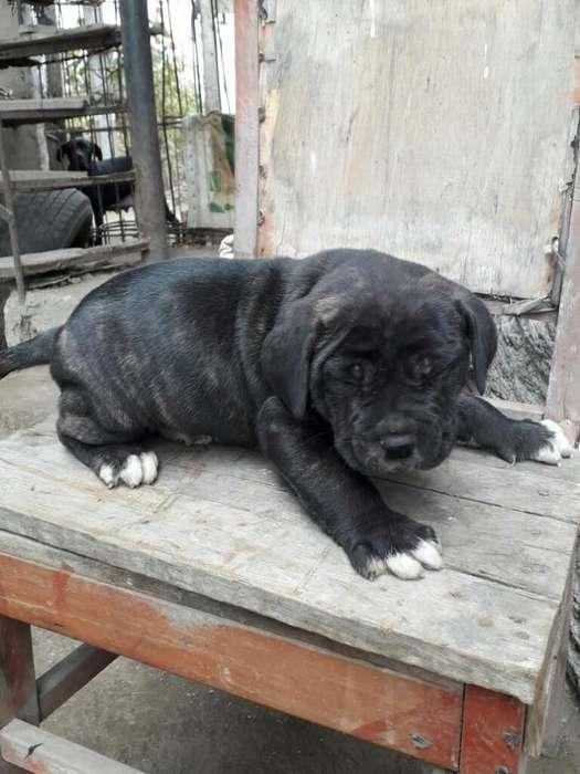 Cachorro Mastin Negro