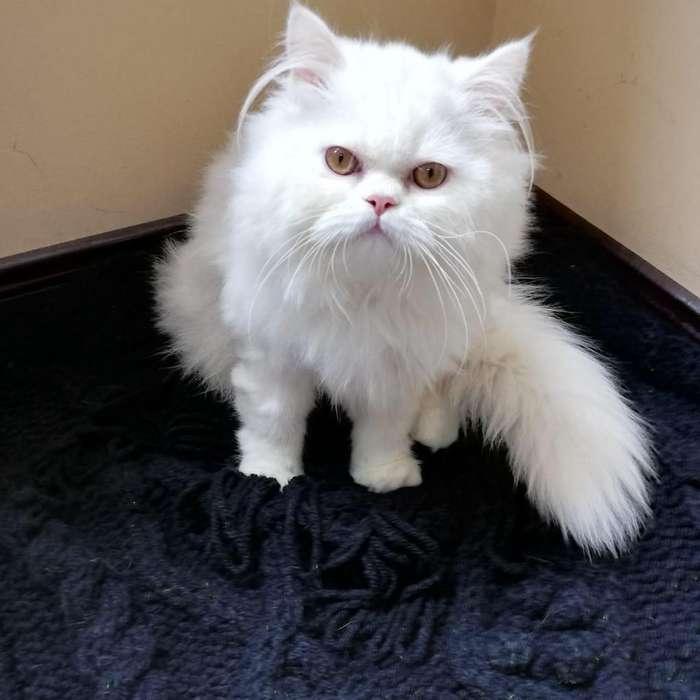 Espectacular Gato Persa Blanco
