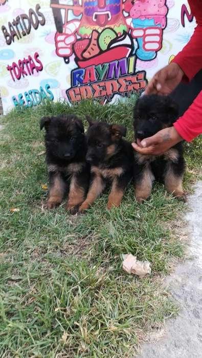 Cachorras Pastor Aleman