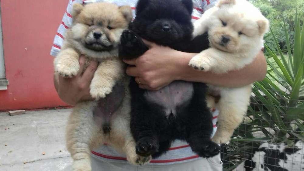 Cachorros Chow Chow con Pedigree de Fca