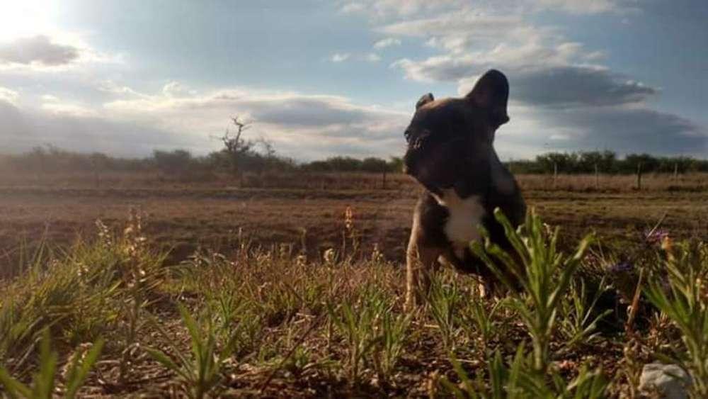 Bulldog Francés Espectacular Macho