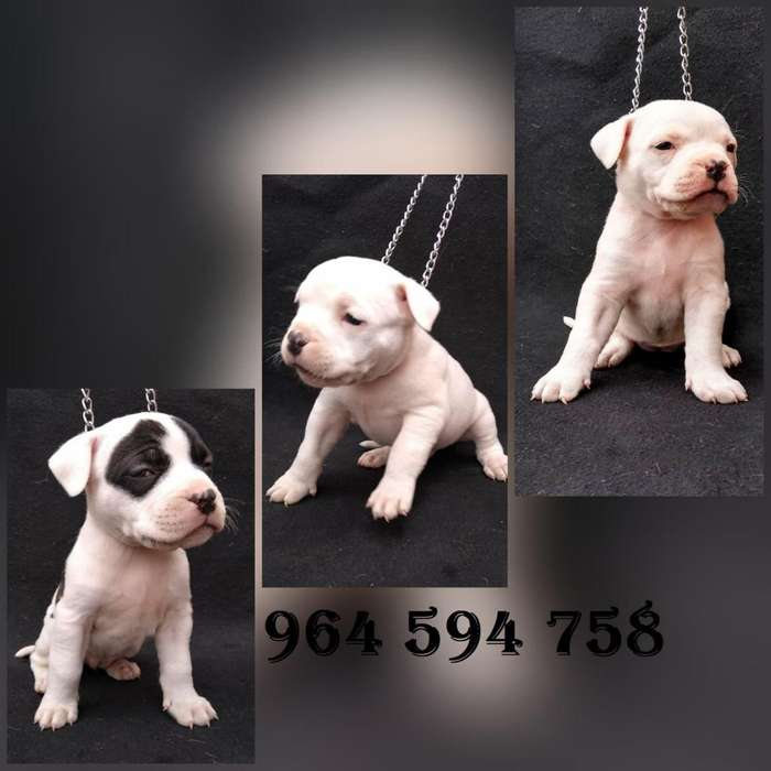 <strong>cachorro</strong>s American Bully X Pitbull