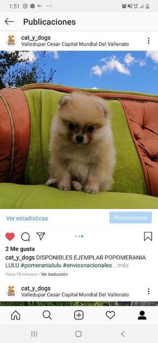 Ultimo Pomeranian Lulu Alta Genética Fot