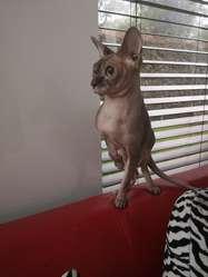 Gato Sphynx Macho para Monta