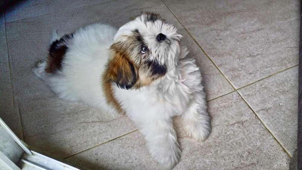 Cachorro Shitzu Tricolor
