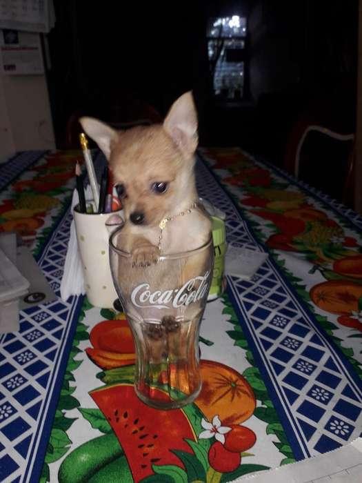 Pinscher Chihuahua Hembrita Bolsillera