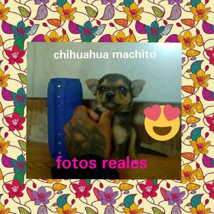 Chihuahua Machito Liquido Fotos Reales
