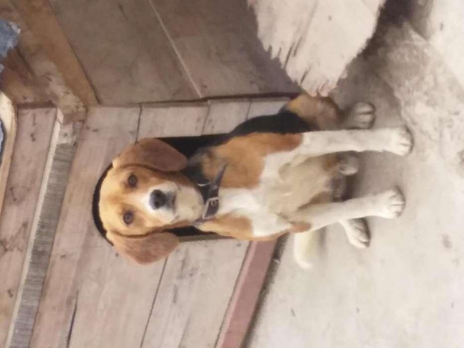 <strong>beagle</strong> tricolor busca novia