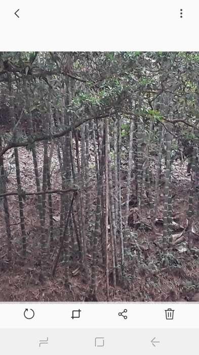 Se Vende Caña Bambu Inf:0989966493