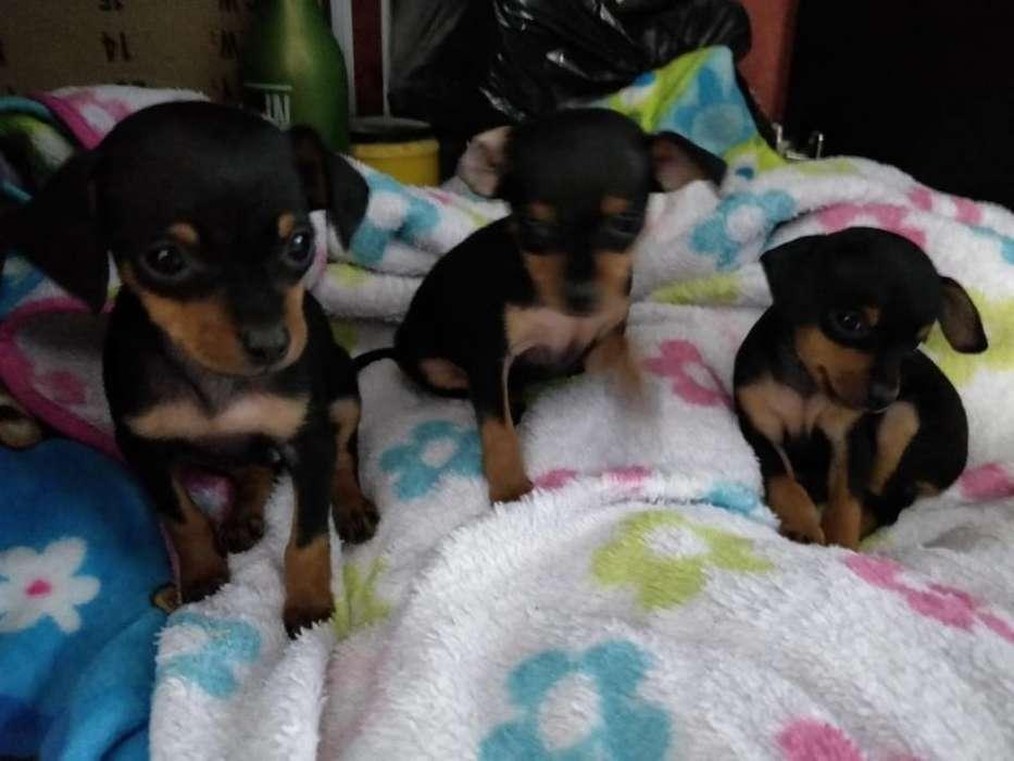 Cachorros Pincher Doberman