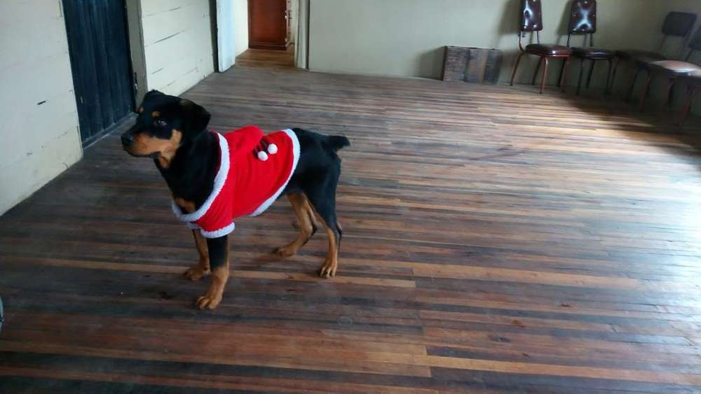 Se Vende <strong>cachorro</strong> Rottweiler