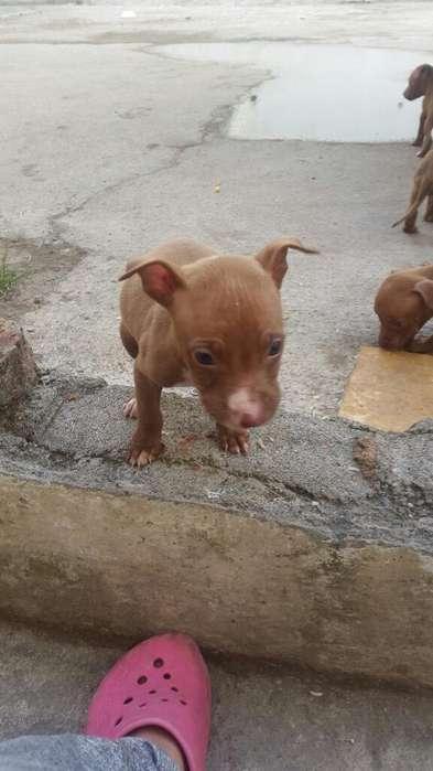 Cachorros de 1 Mes Pitbull con <strong>pedigri</strong>