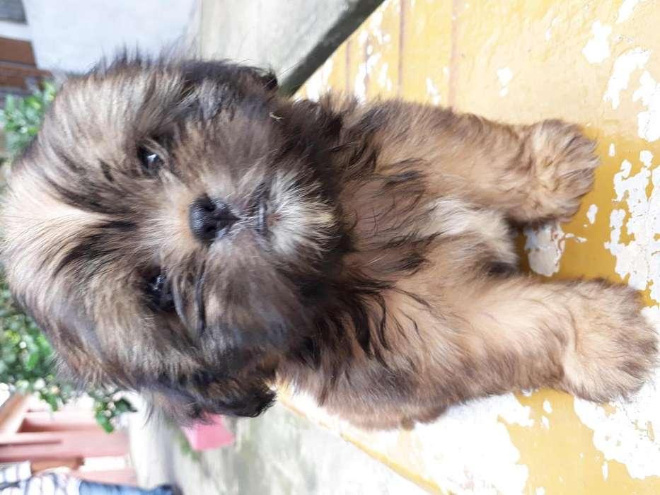 Lindos cachorros shitzu de 2 meses