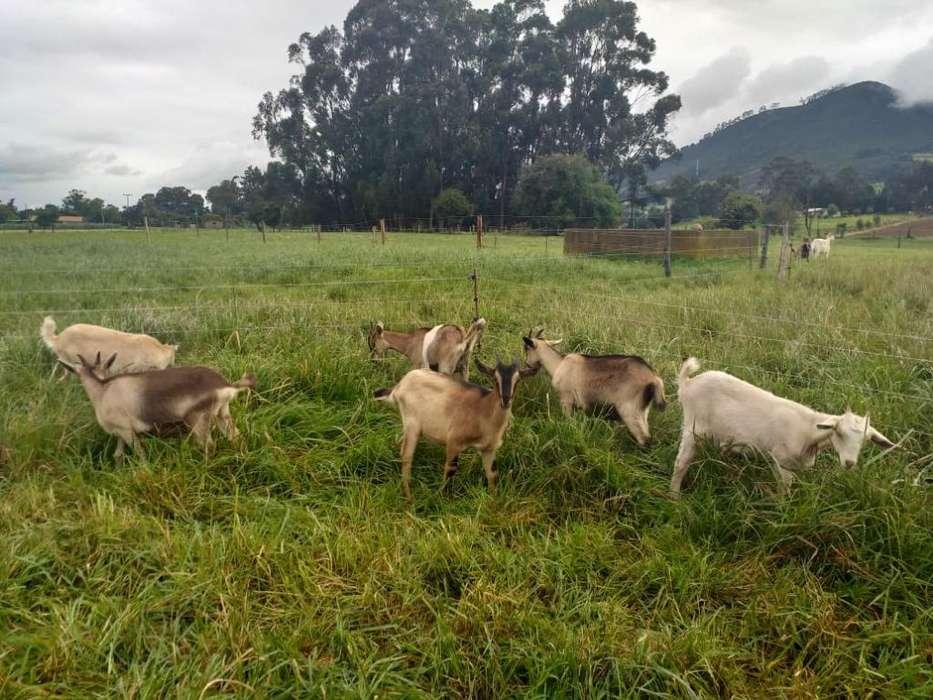 Cabras Cabritas Cabretonas Chivas