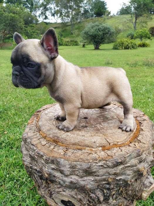 Hermosos Cachorros Frances Disponibles