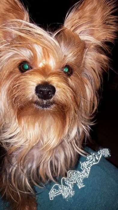 Cachorro Macho Yorky