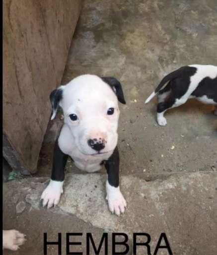 CACHORRA HEMBRA PITBULL CON DOGO ARGENTINO 1 MES 14 DIAS DESPARACITADA Y CON VACUNAS
