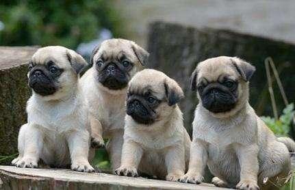 AMIGABLES PUG <strong>cachorro</strong>S EN VENTA
