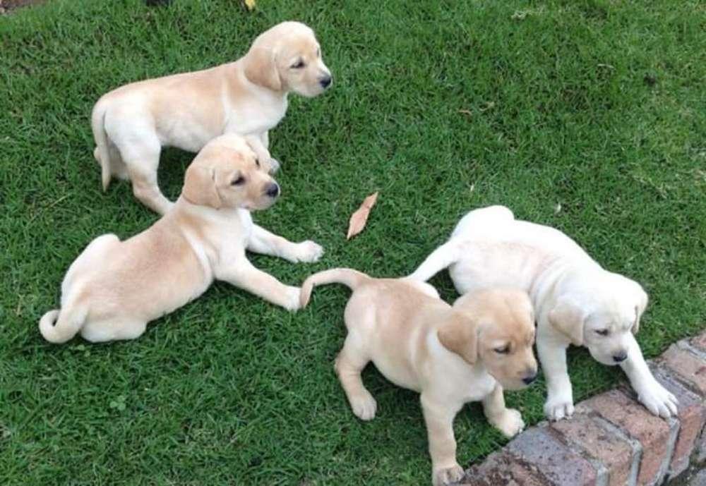 Mascotas Labrador