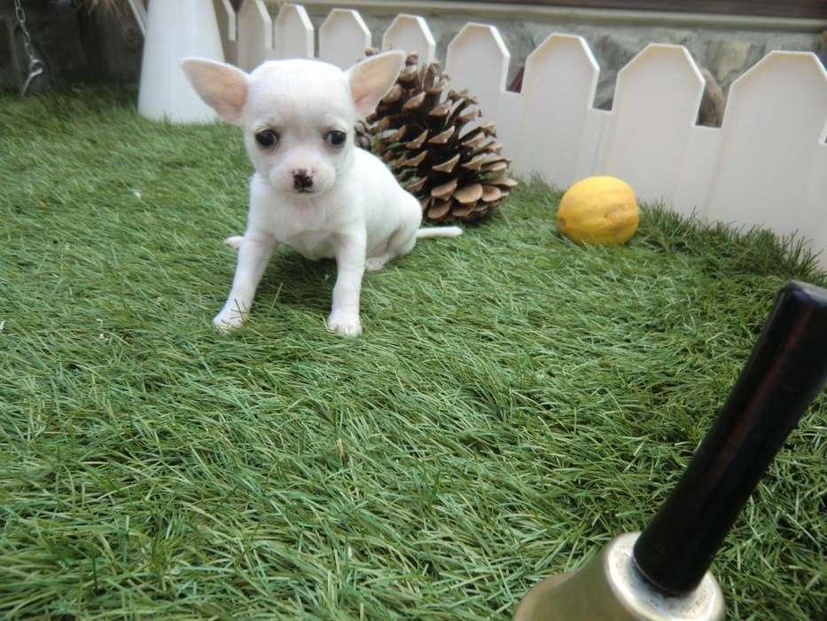 Chihuahuas Mini Toys Blancos Y Bicolores