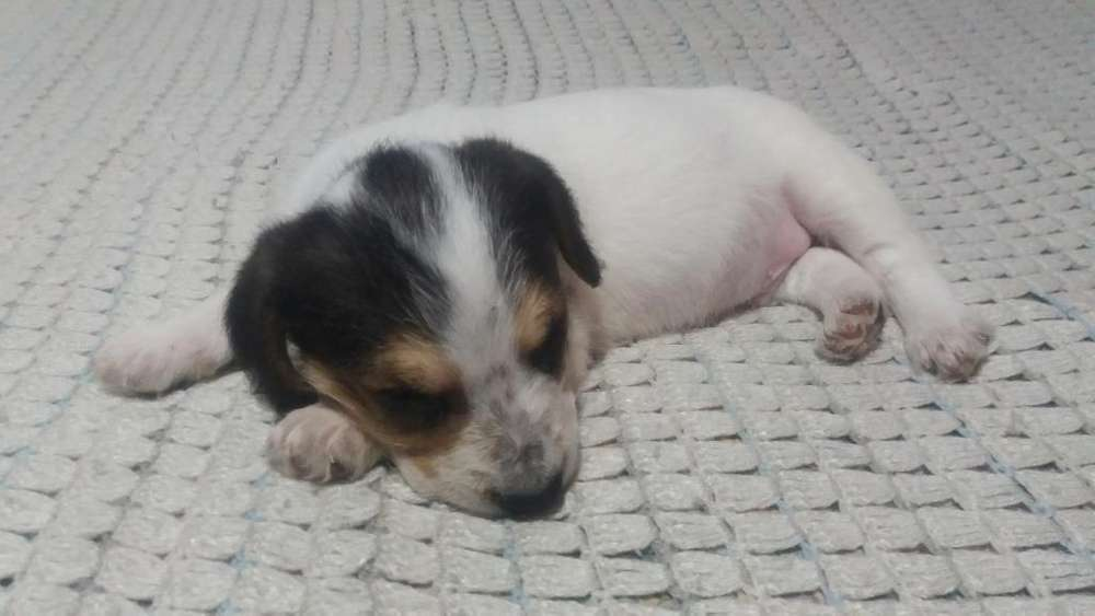 Cachorros <strong>beagle</strong> crusados con Criollo