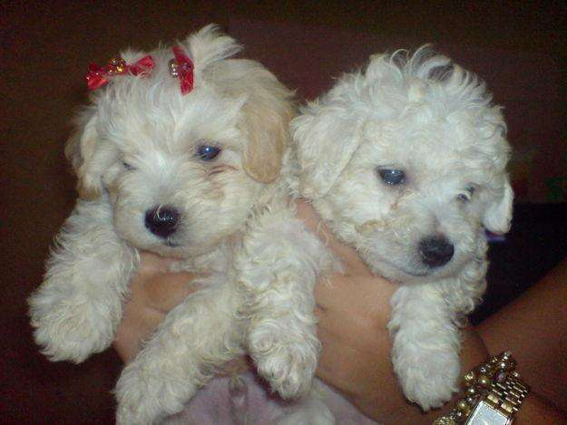 Hermosos <strong>cachorro</strong>s French Poodle Mini Toy