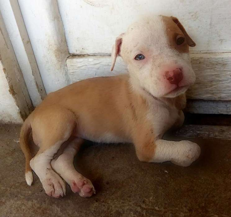 Pitbull Red Nose Ultimos