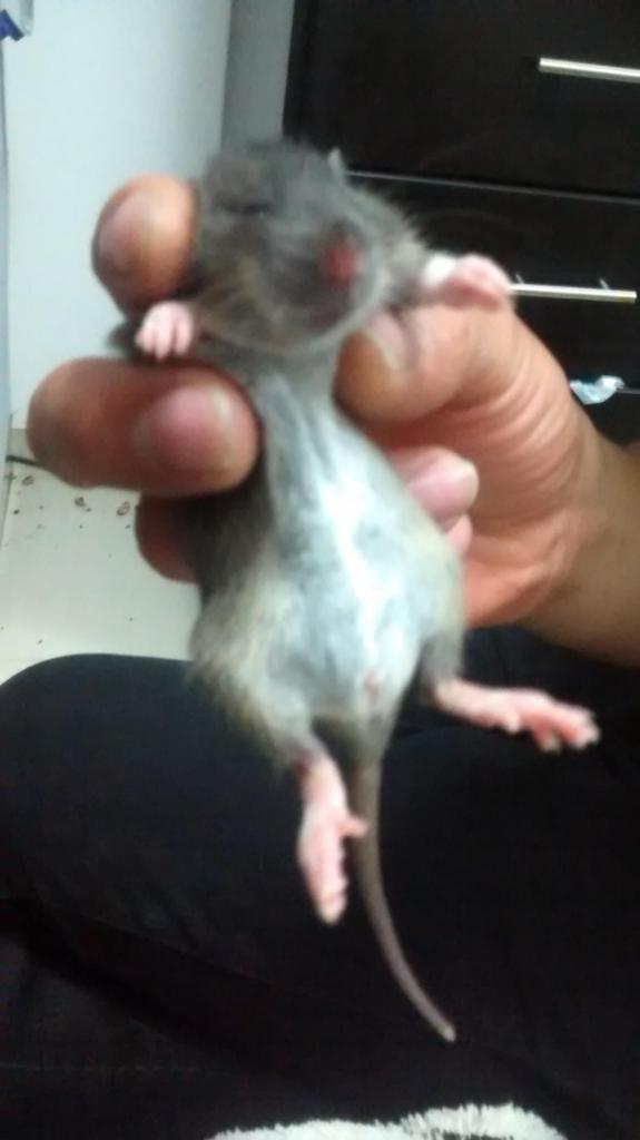 Hermosas ratas domésticas