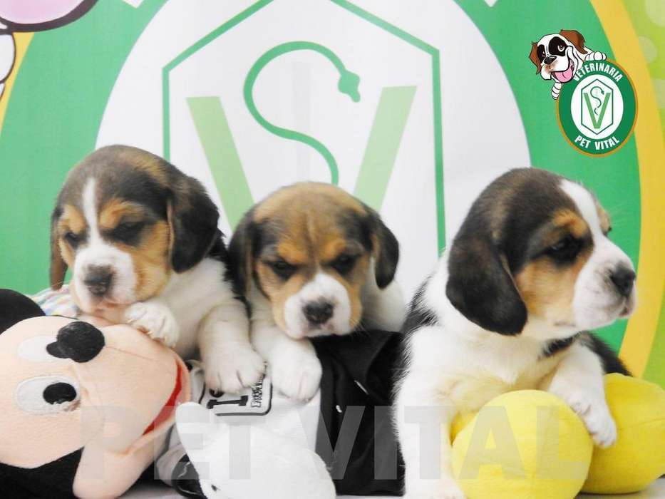 CACHORROS ADORABLES BEAGLE TRICOLOR EN PET VITAL !!!
