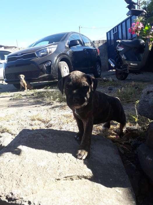 Cachorros <strong>boxer</strong> Recien Vacunados