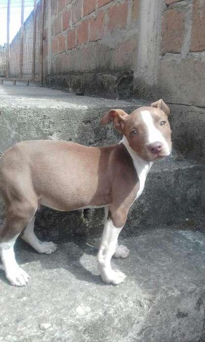Venta de <strong>cachorro</strong>s Picbul