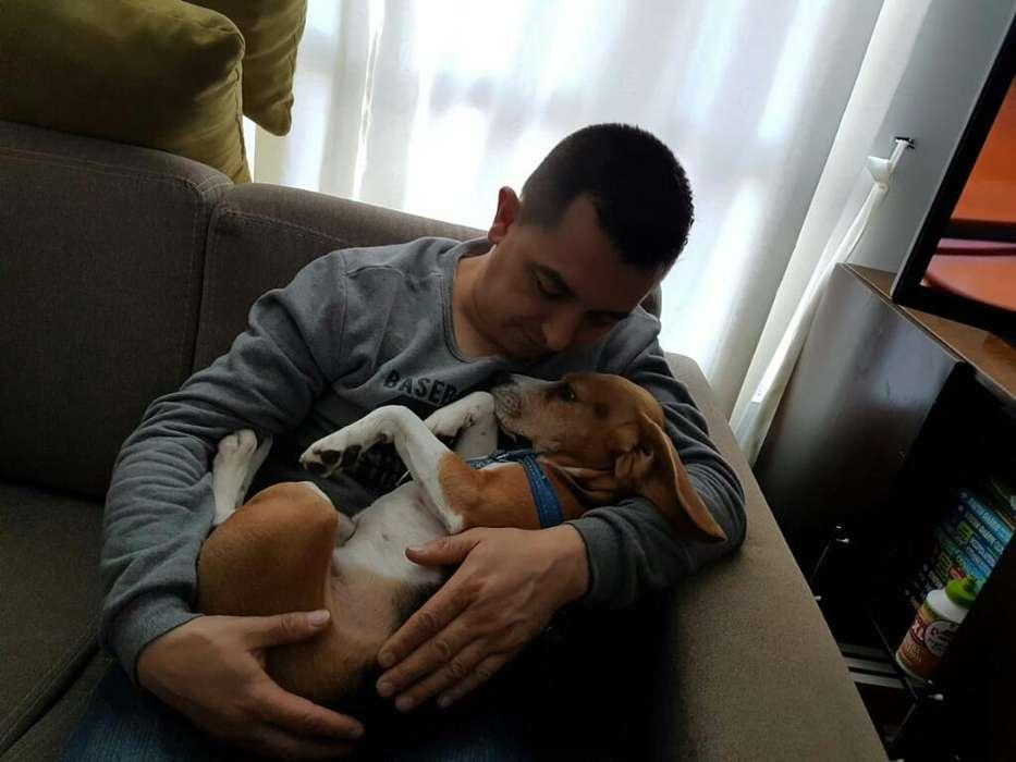 Beagle para <strong>adopcion</strong>
