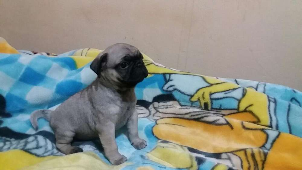 Cachorritos Pug Carlino