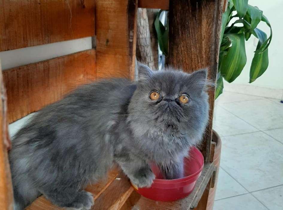 <strong>gato</strong> Persa Extremo Blue