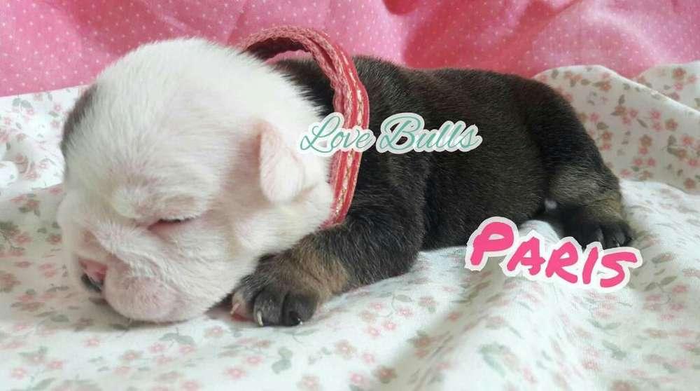 Bulldog Ingles Hembra Y Macho