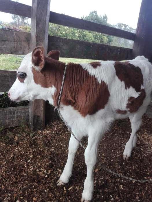 hermosas terneras ayrshire - mombeliarde,-mombeliarde x holstein,genetica lechera