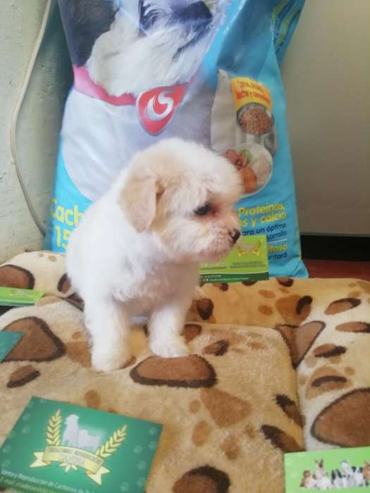 <strong>cachorro</strong>s Mini Toy Patas Cortas Mini