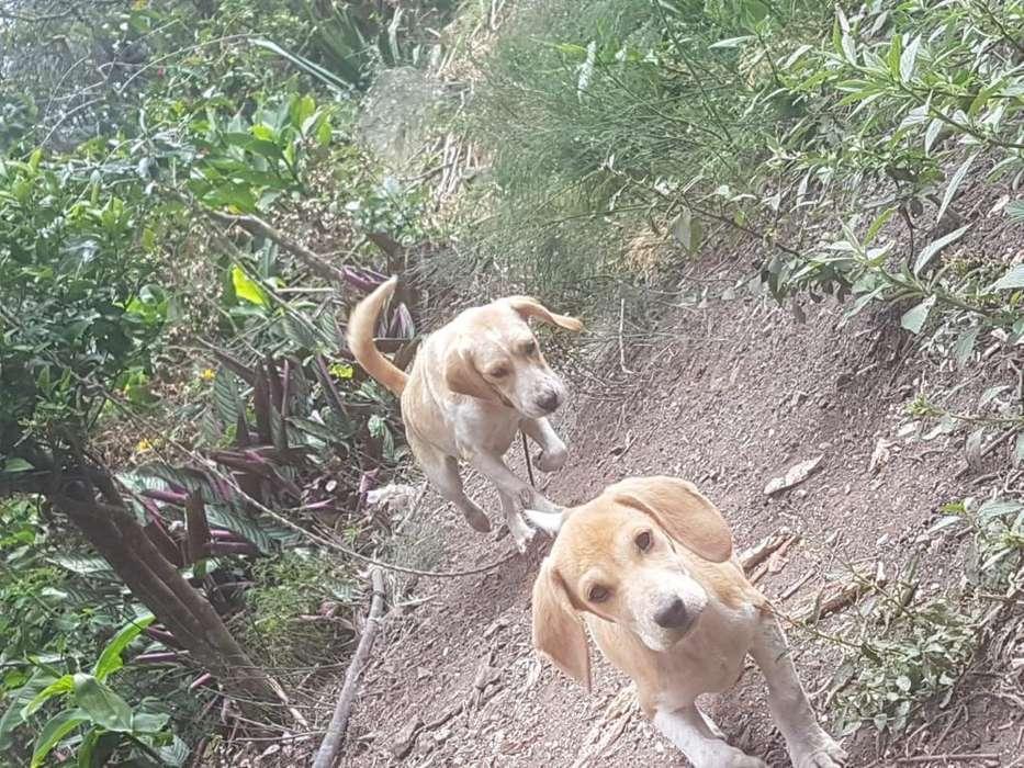 Cachorro Beagle en Adopción