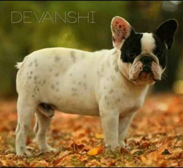 Servicio de Stud Bulldog Francés Vaquita