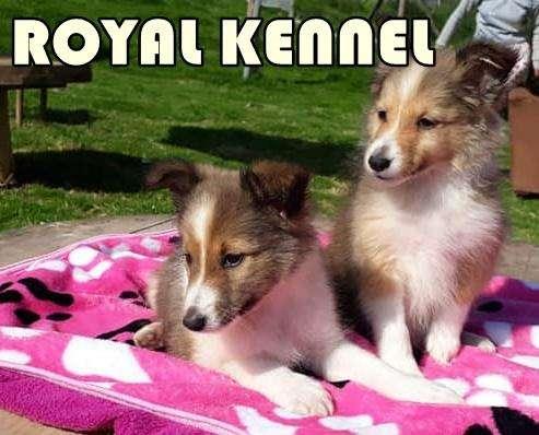 SHETLAND SHEEPDOG ESPECTACULARES DE ROYAL KENNEL !PROMOCON!