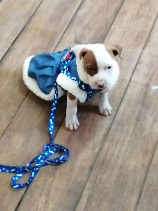 Cachorrita de Raza Pitbull