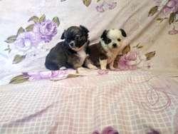 Hermosos Chihuahuas Pelo Largo