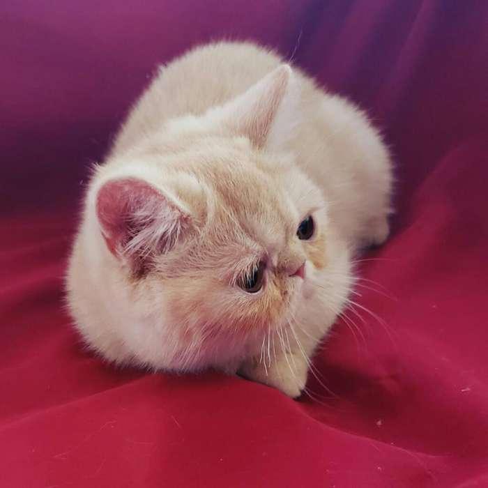 Gato Exotico Persa