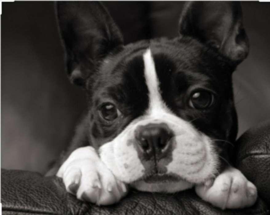 Boston Terrier Cachorrita