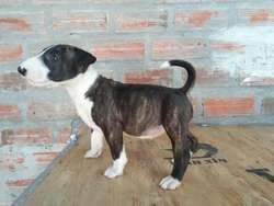 Bull Terrier en Oferta