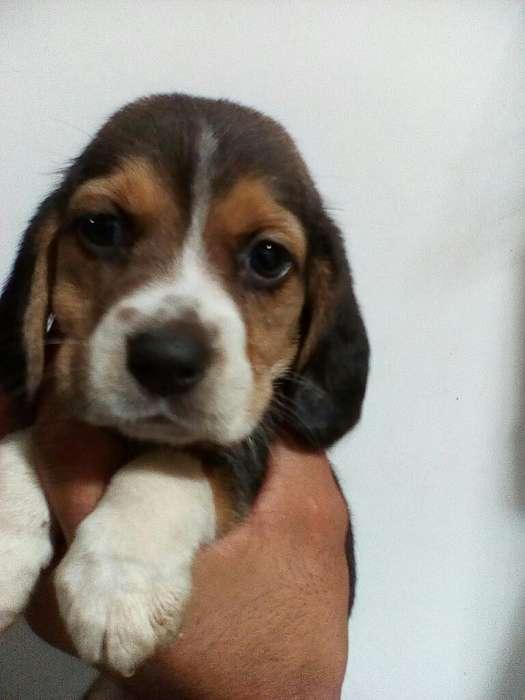 a La Venta <strong>beagle</strong>