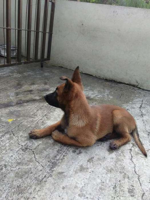Cachorra Belga Malinois