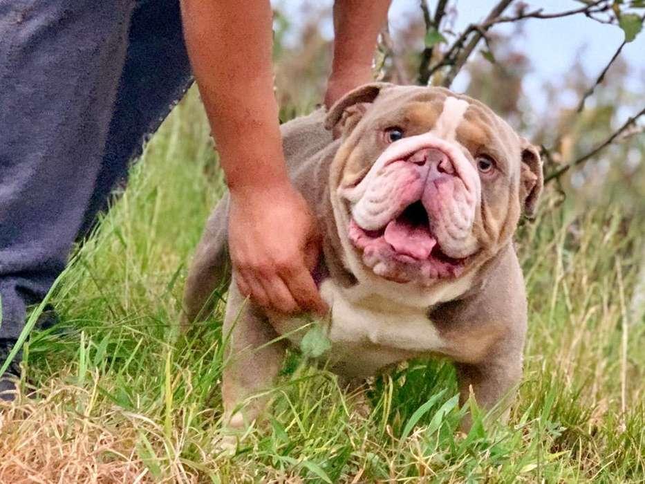 Promo Bulldog Ingles Exotico para Montas