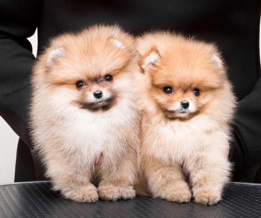 Cachorros Pomeranias Venta